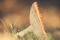 De vliegenzwam in vergane glorie 1